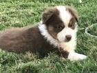 Australian Shepherd Puppy For Sale in STILLWATER, OK, USA