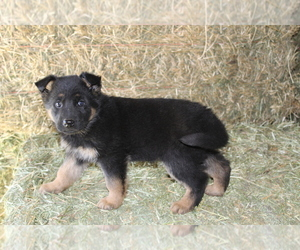 German Shepherd Dog Puppy for Sale in HORN CREEK, Colorado USA