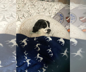 English Springer Spaniel Dog for Adoption in CLEARWATER, Florida USA