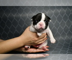 Small Photo #4 French Bulldog Puppy For Sale in GRAHAM, WA, USA