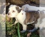 Puppy 4 American Bulldog