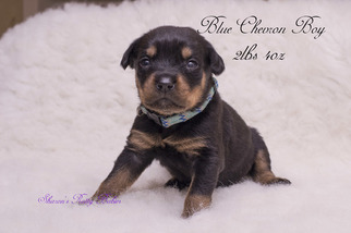 Rottweiler Puppies And Dogs For Sale In Usa