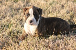 Boxer Puppy for sale in OZARK, MO, USA