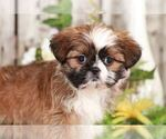 Small Photo #1 Shih Tzu Puppy For Sale in MOUNT VERNON, OH, USA