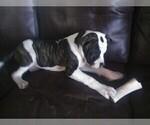 Small #6 American Bulldog