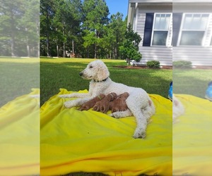 Goldendoodle Puppy for Sale in HAMPSTEAD, North Carolina USA