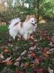 Pomeranian Puppy For Sale in BRISTOW, VA, USA