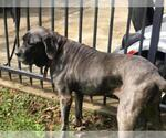 Small #31 Neapolitan Mastiff