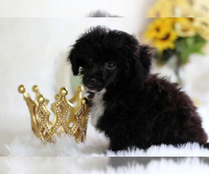 View Ad: Havanese-Poodle (Toy) Mix Puppy for Sale near Texas