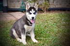 Siberian Husky Puppy For Sale in GRAYSON, LA, USA