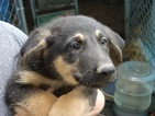 German Shepherd Dog Puppy For Sale in SCIO, OH, USA