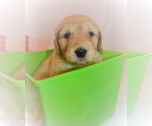 Goldendoodle Puppy for sale in LINWOOD, NY, USA