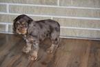 Cocker Spaniel Puppy For Sale in FREDERICKSBURG, OH, USA