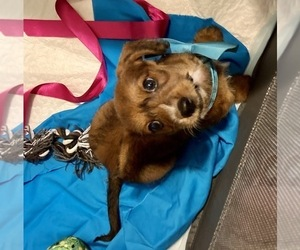 Dachshund-Poodle (Toy) Mix Puppy for sale in MENA, AR, USA