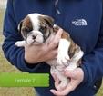 Small #1 Olde English Bulldogge