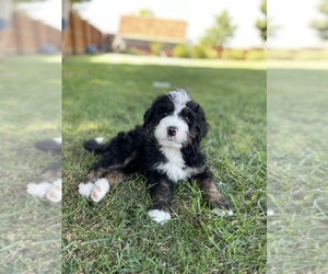 Bernedoodle Puppy for sale in FRANKLIN, IN, USA