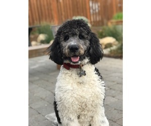 Labradoodle Puppy for sale in RIDGEFIELD, WA, USA