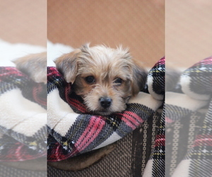 Morkie Puppy for sale in LUDLOW, MO, USA
