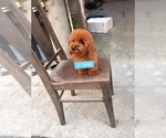 Small Photo #1 Poodle (Toy) Puppy For Sale in Ha Dong, Ha Noi, Vietnam