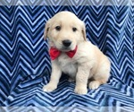 Jay the AKC Golden Retriever
