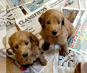 Goldendoodle-Poodle (Standard) Mix Puppy for Sale in ROSCOE, Illinois USA