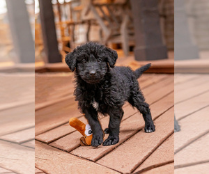 Shepadoodle Puppy for Sale in JOHNSON, Kansas USA