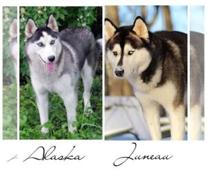 Father of the Siberian Husky puppies born on 01/31/2021