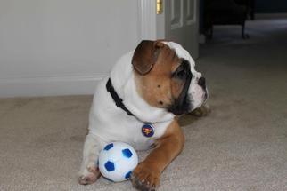 Bulldog Dog For Adoption in BINGHAM CANYON, UT