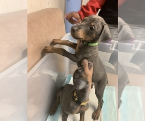 Doberman Pinscher Puppy for Sale in PENSACOLA, Florida USA