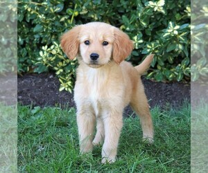 Golden Retriever Puppy for sale in LEBANON, PA, USA