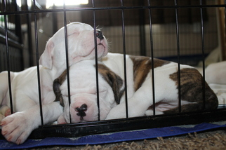 American Bulldog Puppy For Sale in IRRIGON, OR