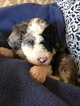 Aussie-Poo-Aussiedoodle Mix Puppy For Sale in SANGER, TX, USA