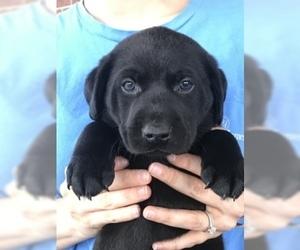 Labrador Retriever Puppy for sale in GADSDEN, AL, USA