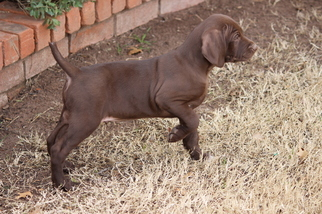 German Shorthaired Pointer Puppy For Sale in MIDLAND, TX