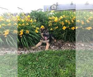 German Shepherd Dog Puppy for Sale in CURTISS, Wisconsin USA
