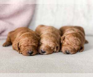 Goldendoodle Puppy for sale in WACO, TX, USA