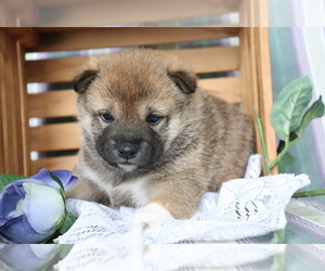 Shiba Inu Puppy for sale in SHILOH, OH, USA