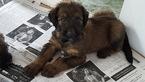 AKC UKC Registered Puppies