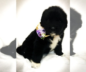 Great Pyrenees-Newfoundland Mix Puppy for Sale in CANDLER, North Carolina USA