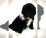 Great Pyrenees-Newfoundland Mix Puppy For Sale in CANDLER, NC, USA