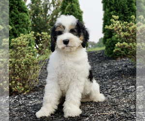 Miniature Bernedoodle Puppy for Sale in WARSAW, Indiana USA