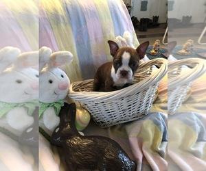 Boston Terrier Dogs for adoption in WHITE HOUSE STATION, NJ, USA