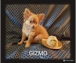 Small Photo #6 Chihuahua Puppy For Sale in MANSFIELD, TX, USA