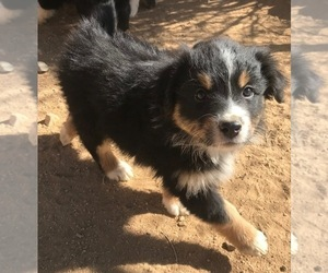 Australian Shepherd Puppy for Sale in PHELAN, California USA