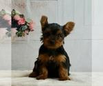 Puppy 3 Yorkshire Terrier
