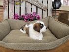 Saint Bernard Puppy For Sale in DUNDEE, OH, USA
