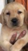 Labrador Retriever Puppy For Sale in KATY, TX, USA
