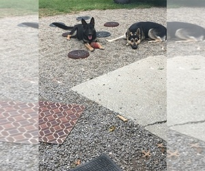 German Shepherd Dog Puppy for sale in CHURUBUSCO, IN, USA