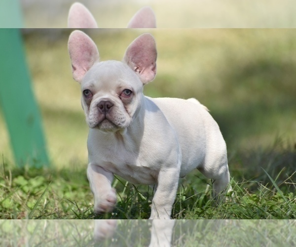 Medium Photo #3 French Bulldog Puppy For Sale in CHRISTIANA, TN, USA