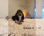 Puppy 3 Basset Artesian Normand